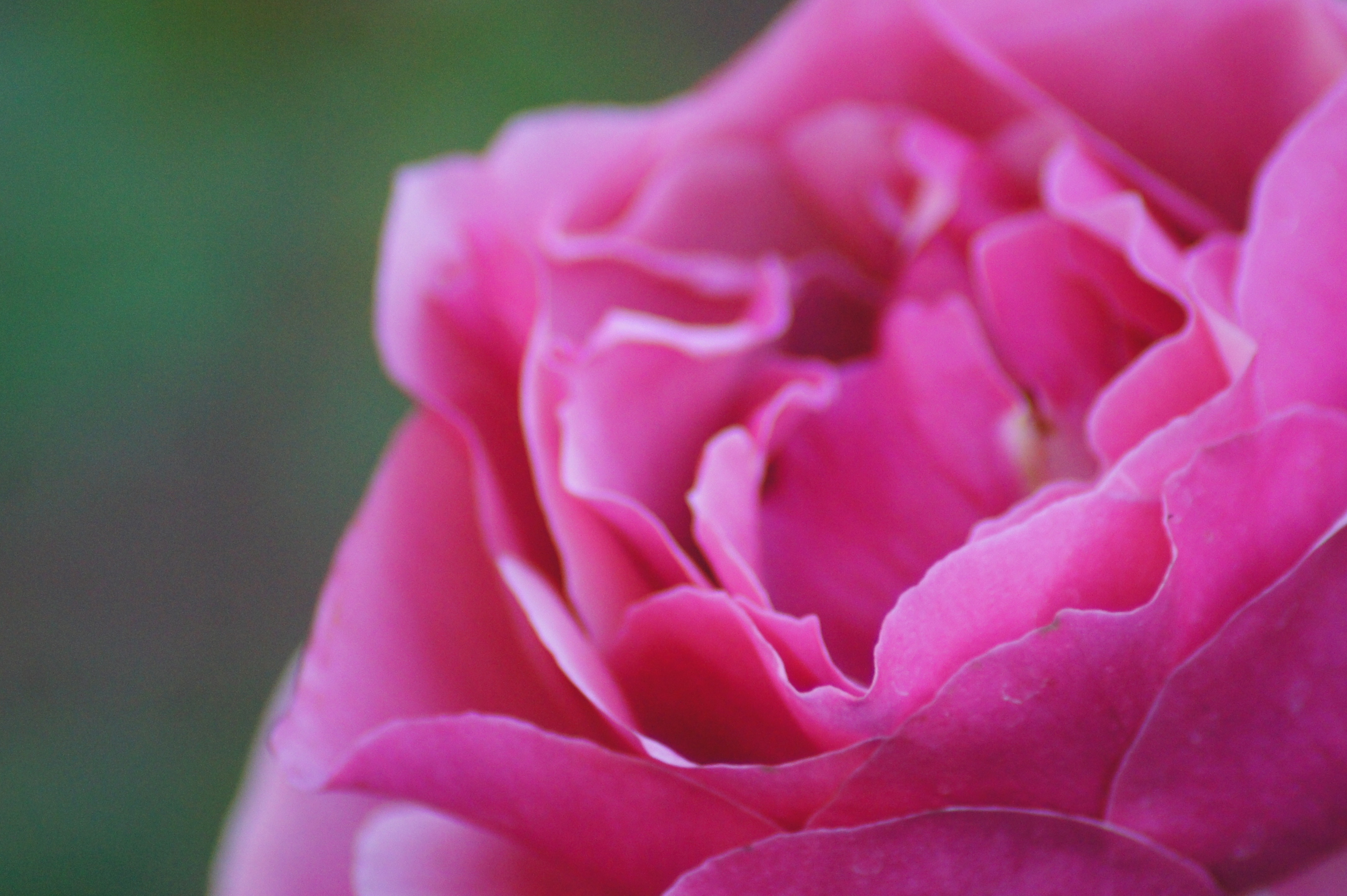 Close up macro photo of a pink rose in full bloom in January by Kristen Koster on Flickr.com